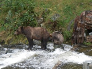 grizzly cub staying dry in river