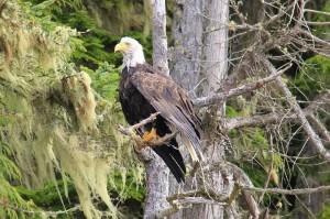 eagle resting
