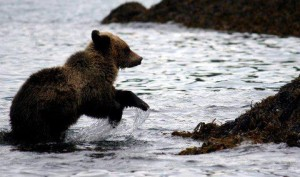 grizzly cubs donot like salt water