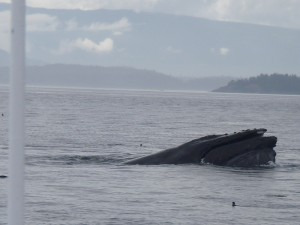 humpback whale visiting
