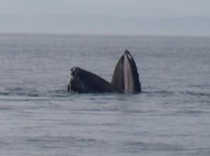good lunge feeding whale