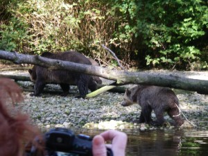 grizzly across river