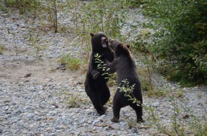 more grizzly bears fight