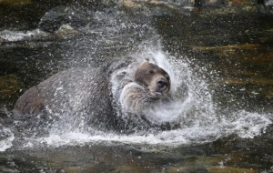 grizzly shaking water head