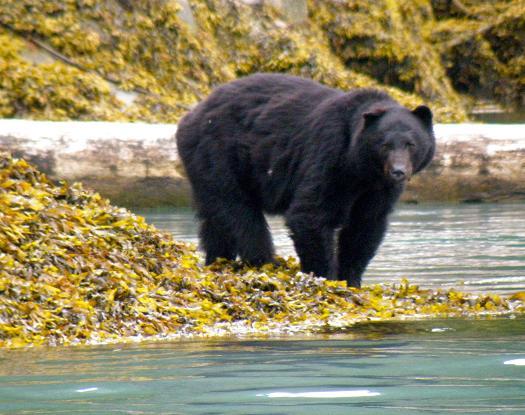 Black bear on beach
