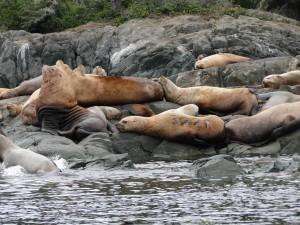 large sea lions