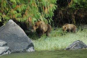 grizzly following mother