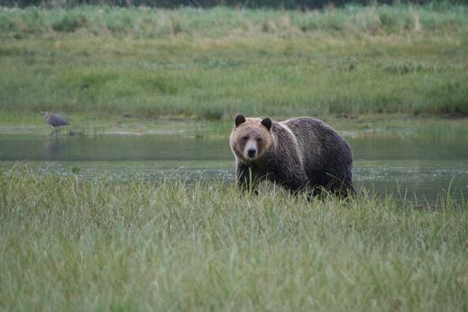 Spring male grizzly