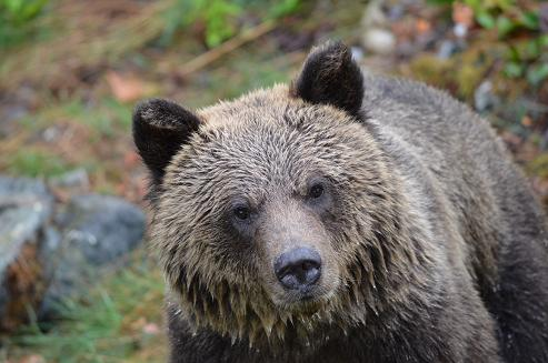 Close up of a Grizzy Bear