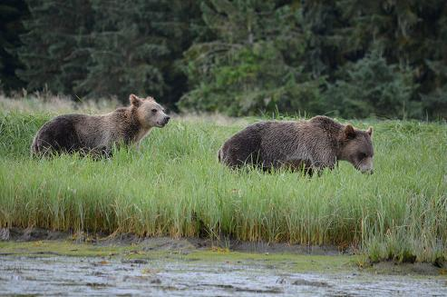 Estuary Grizzly Bears