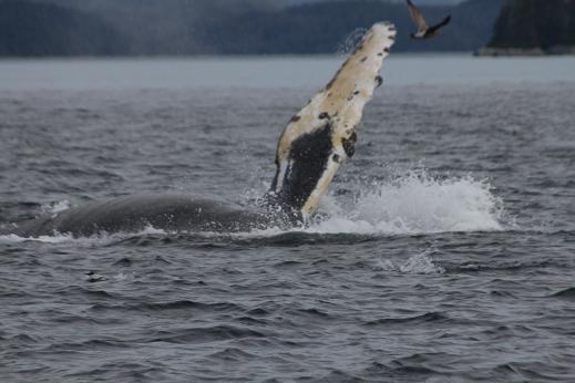 Humpback Whales at play