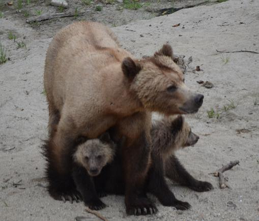 Mother grizzly protecting cubs