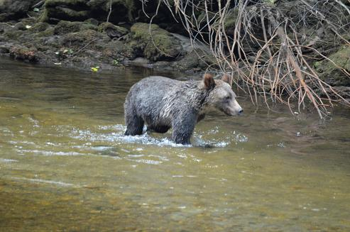 Grizzly in river