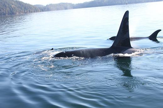 Killer Whale / Orca