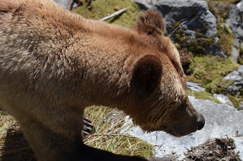 Grizzly Bear Below