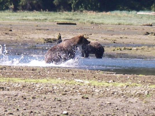 Grizzlies in River estuary