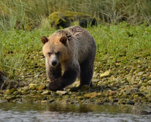 Grizzly Bears on the River