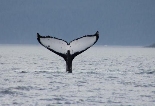 Humpback Whales fluke