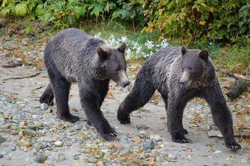 Grizzly Bear Siblings