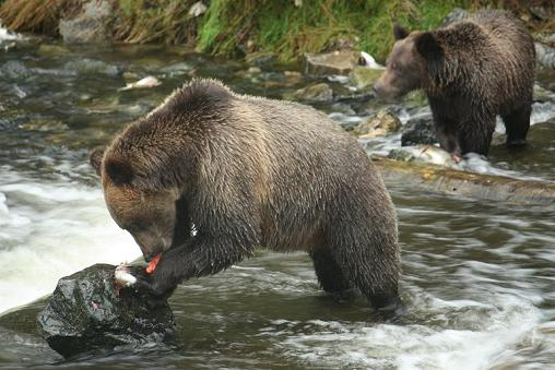 Two Grizzly Eating