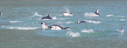 Whitesides aka Dolphins