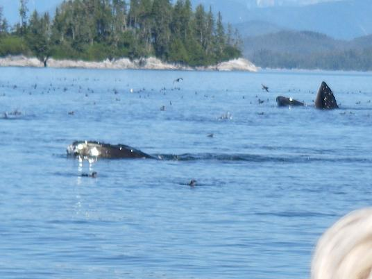Humpback Whales Lunging