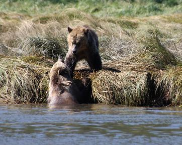 Grizzlies in river mouth