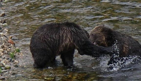 Grizzlies fighting