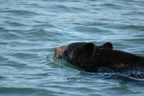 Black Bear Swimming