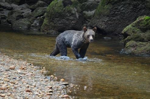 Grizzly bear river walker