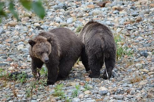 Grizzlies with Tape Worms