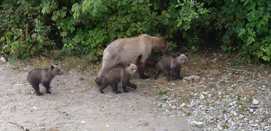 Grizzly bear triplets