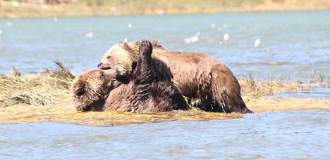 Grizzlies meet and fight