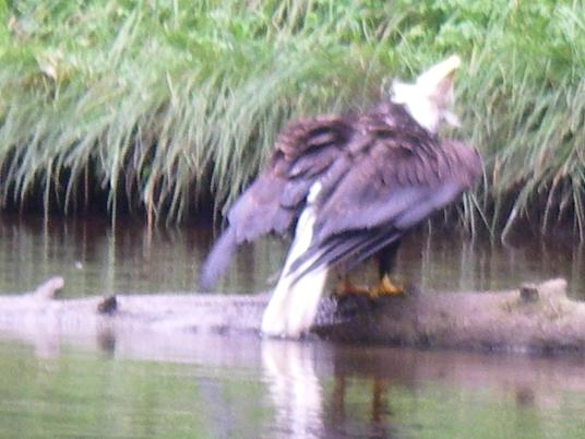 Eagle Bathing