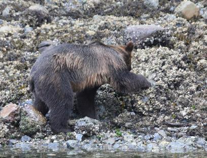 Grizzly Bear beach