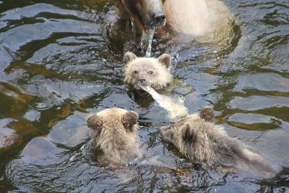 Grizzly cubs salmon over fight