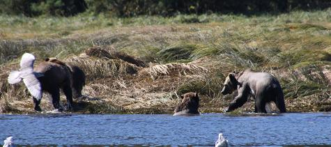 Grizzly bear family on river
