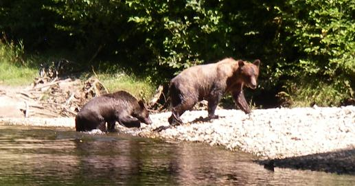Grizzlies walking the river