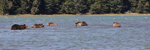 Grizzly Bears in river estuary