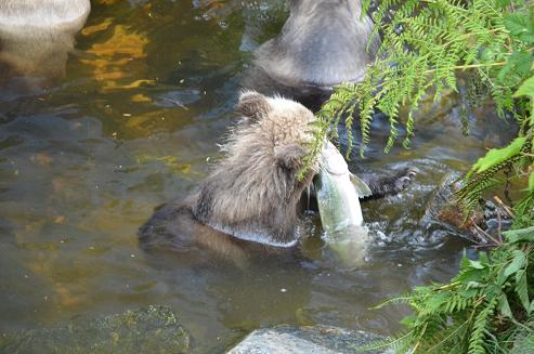 Cub catching salmon