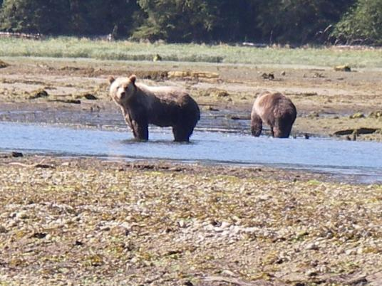 Estuary Grizzly Bears