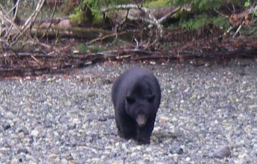 Male Balck Bear