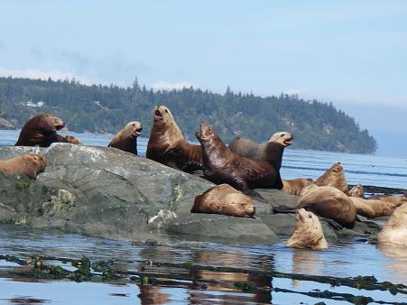 Sealions at haulout