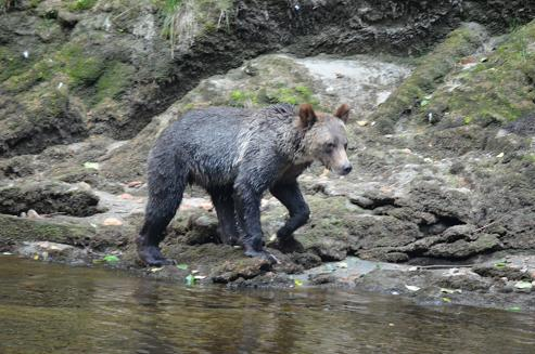 Grizzly walking he river