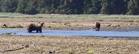 Grizzlies in estuary