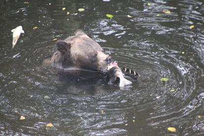Salmon eating grizzly