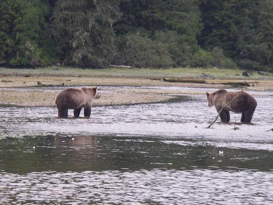 Grizzlies in River