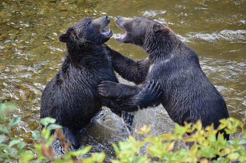 Grizzly bears fighting
