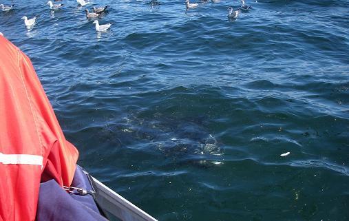 herring ball close