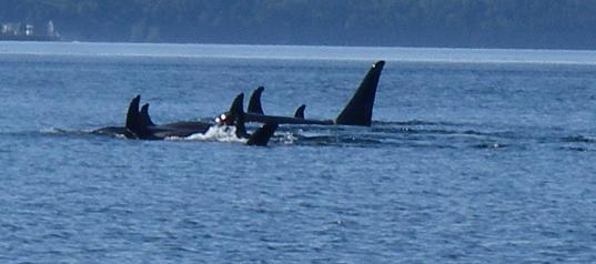 orca pod restline